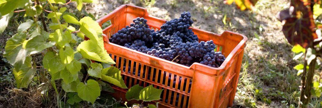 Vino, vendemmia: clima brucia il 9% del raccolto, bene la qualità. Assoenologi, Ismea, UIV: la sfida è sui mercati, ottimismo su rialzo prezzi